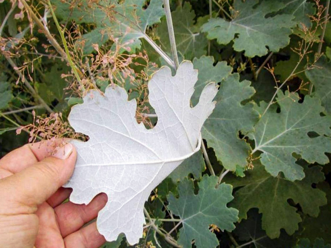 Maklėjos lapas