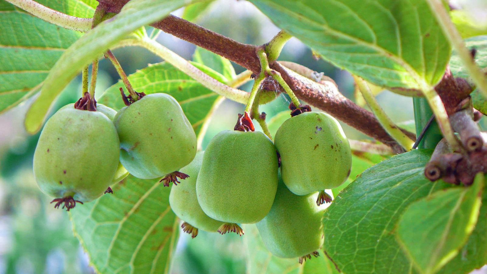 Nokstančios aktinidijos vaisiai