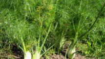 Prieskoninis augalas pankolis
