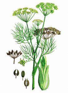 Paprastasis pankolis botanikoje