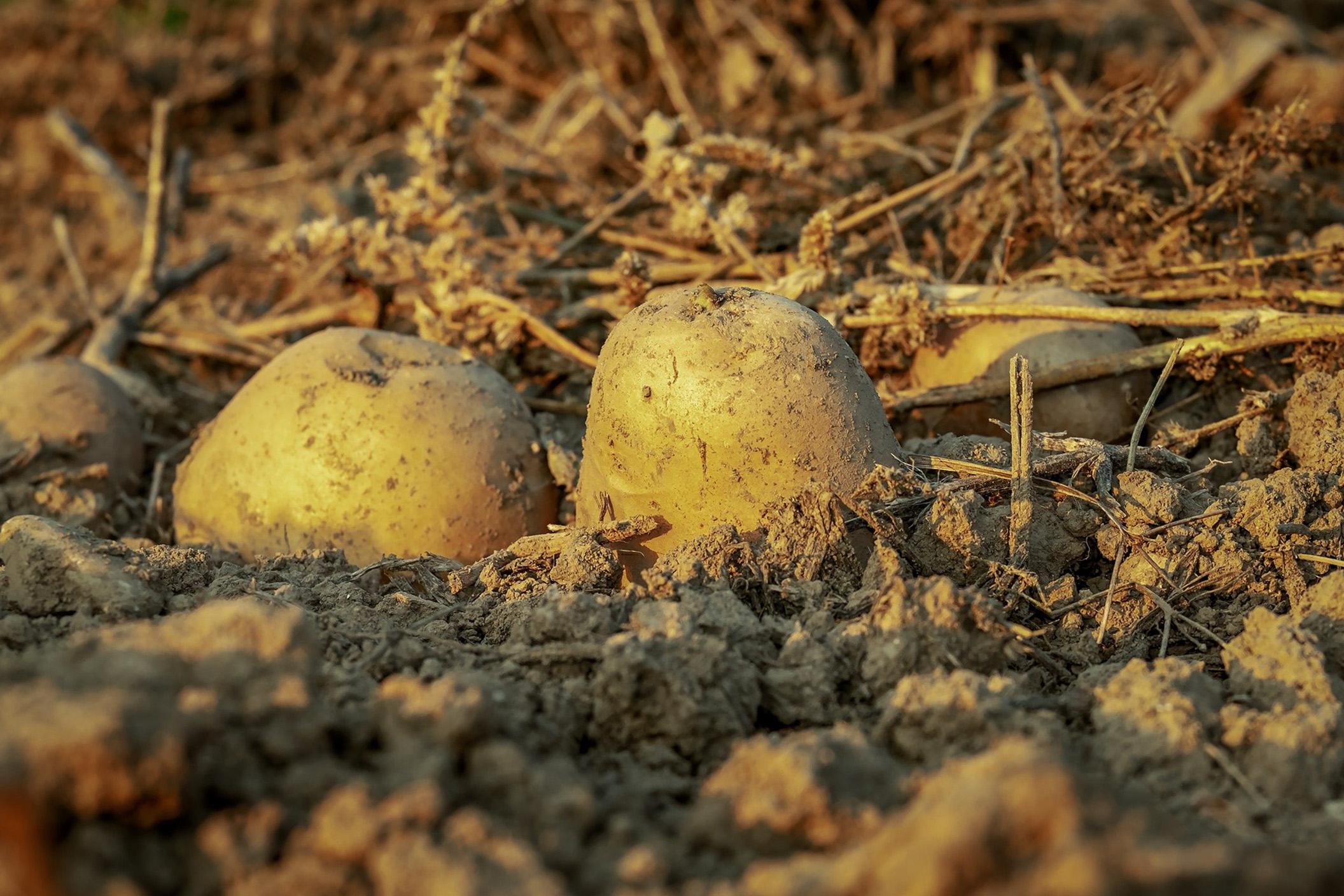 Paprastoji bulvė