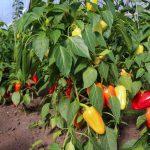 Paprika (augalas)