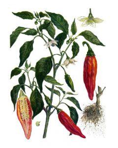 Paprikos augalas botanikoje