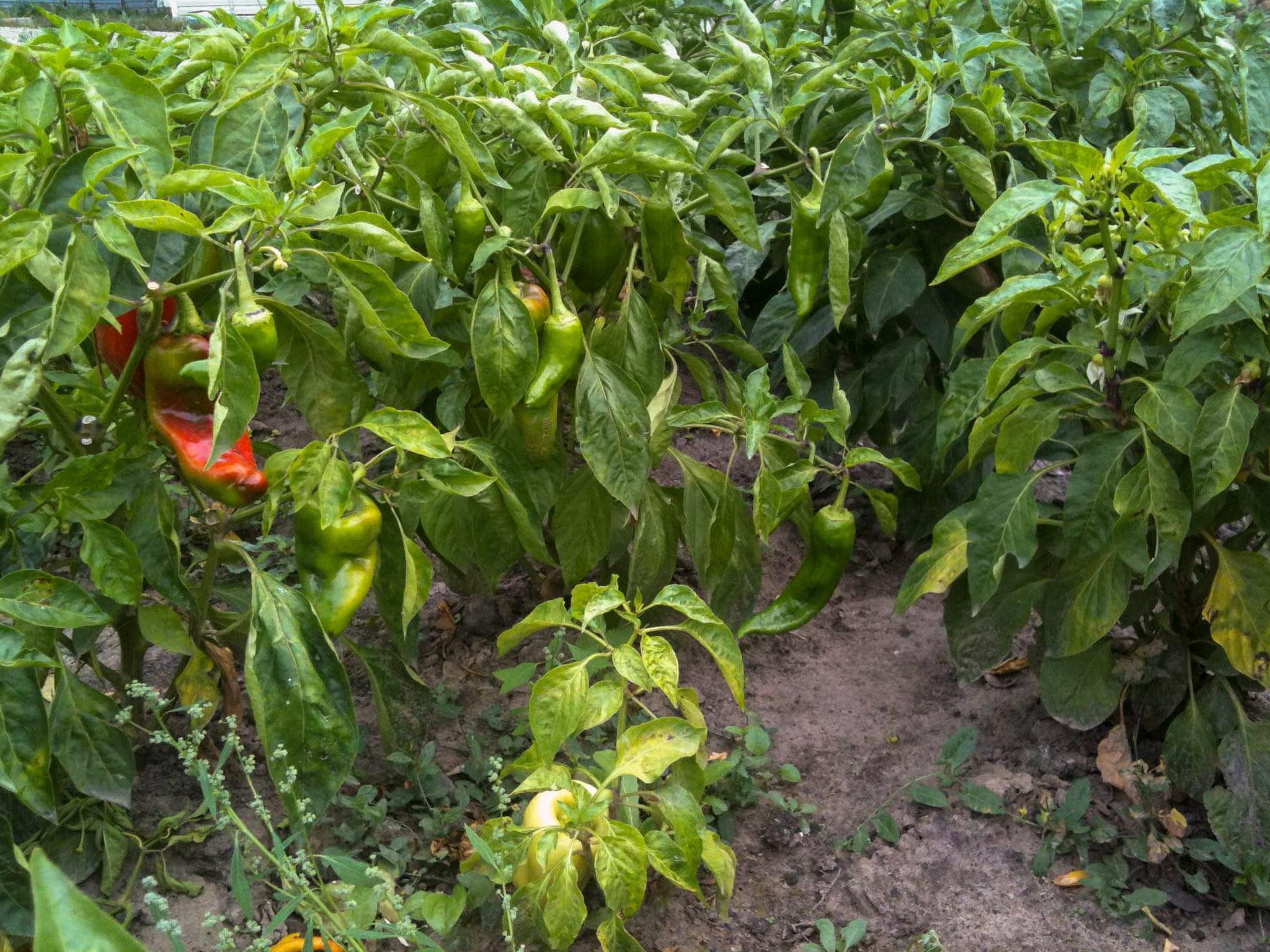 Paprikų auginimas lauke