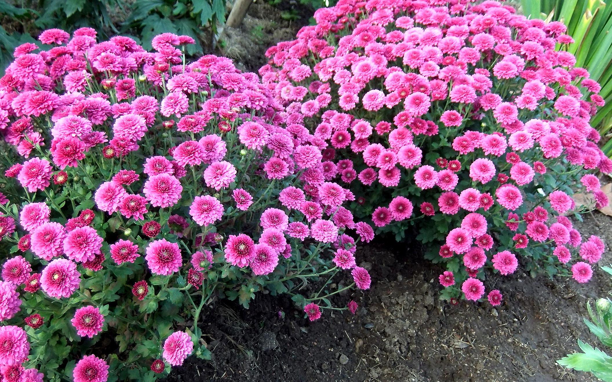 Rausvos chrizantemos