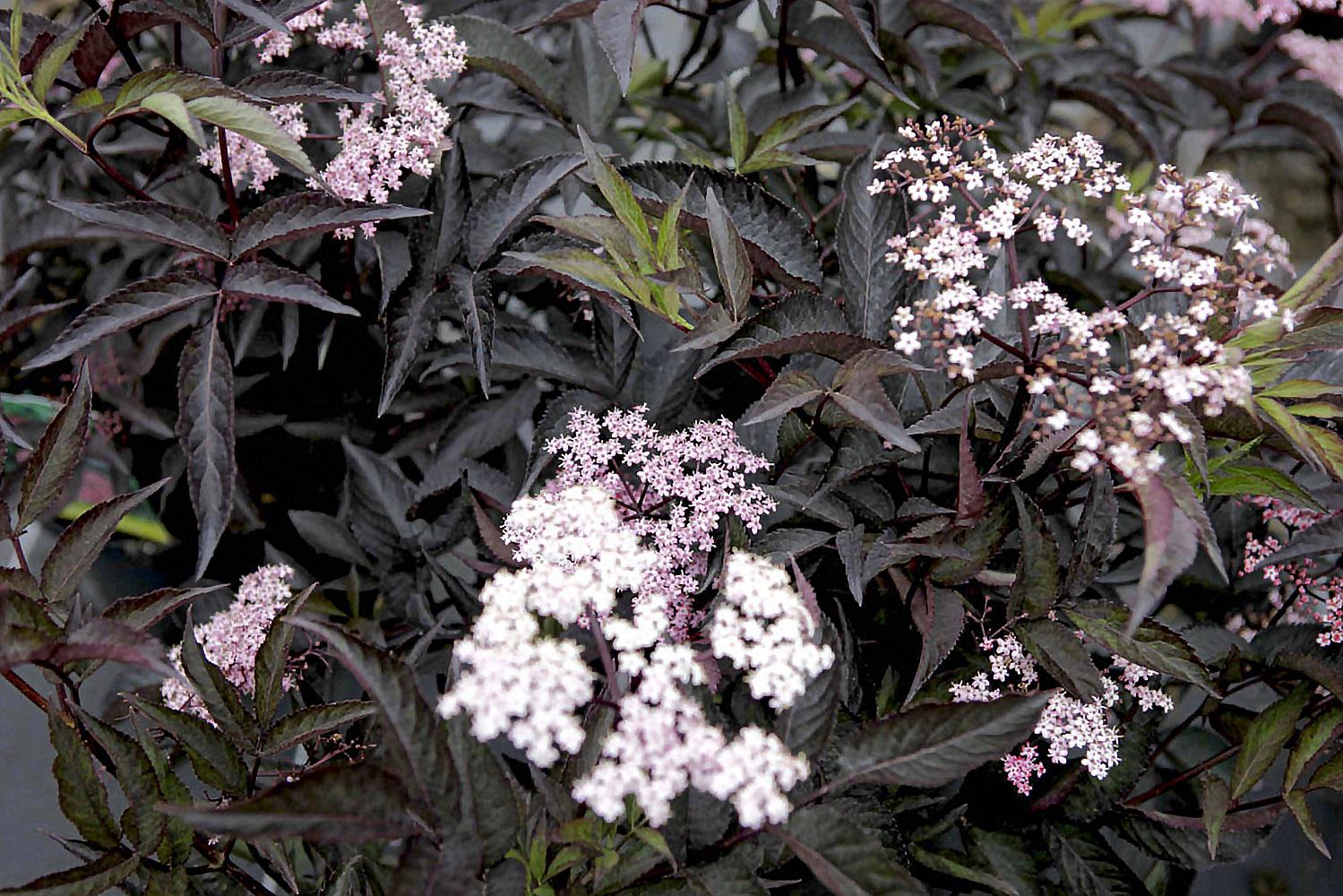 Šeivamedis 'black beauty'