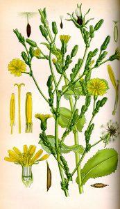 Sėjamoji salota botanikoje