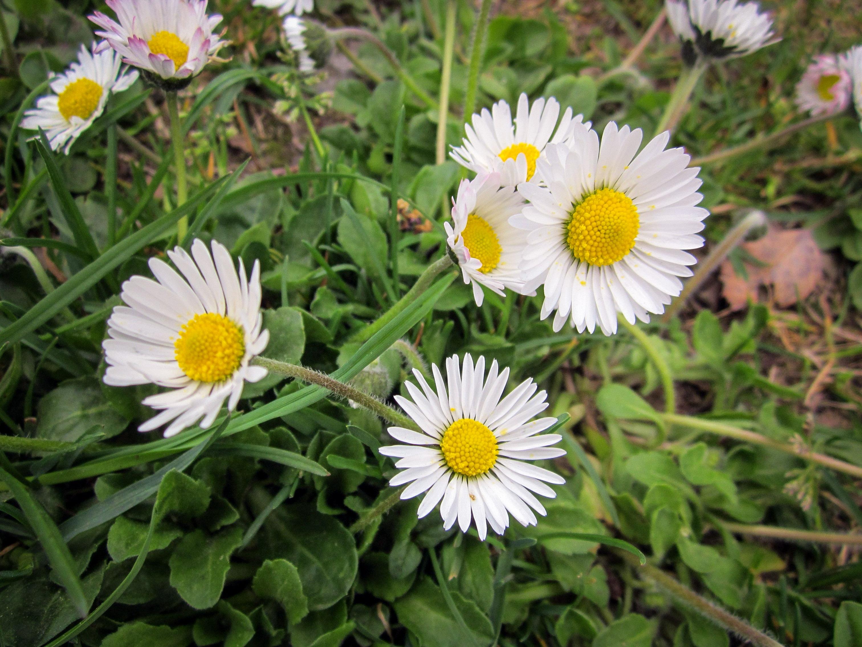 Smulkios gėlės saulutės