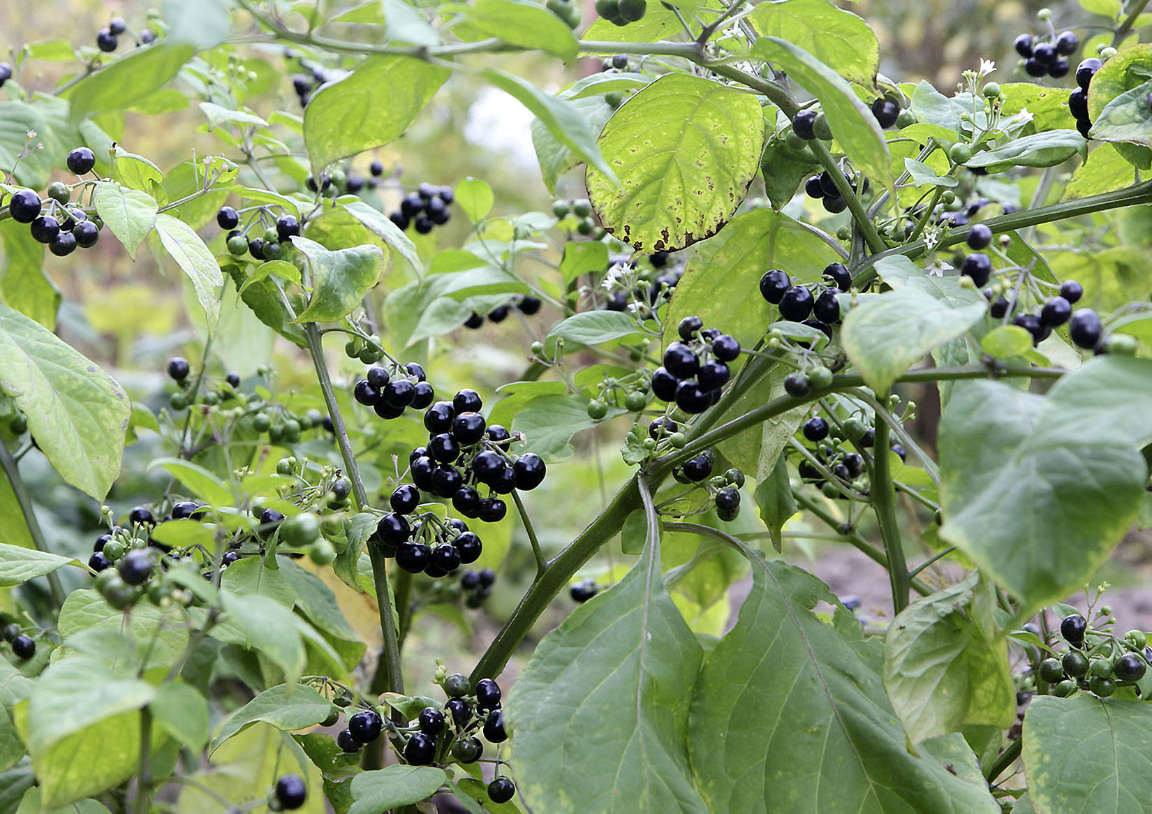 Sodo mėlynės augalas