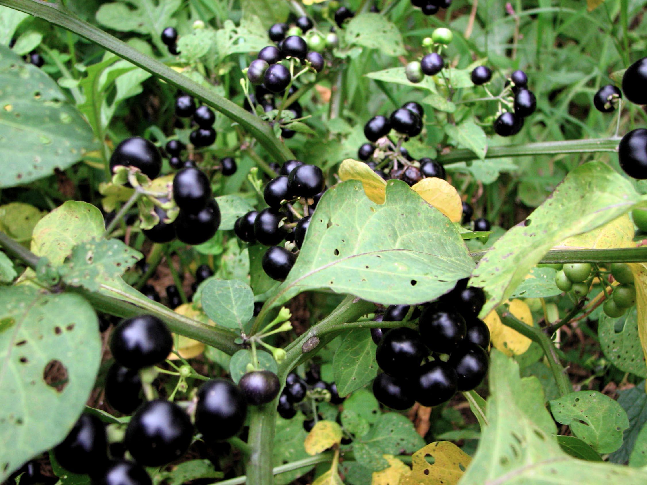 Sodo mėlynių auginimas