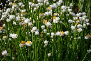 Sagutė (gėlė)