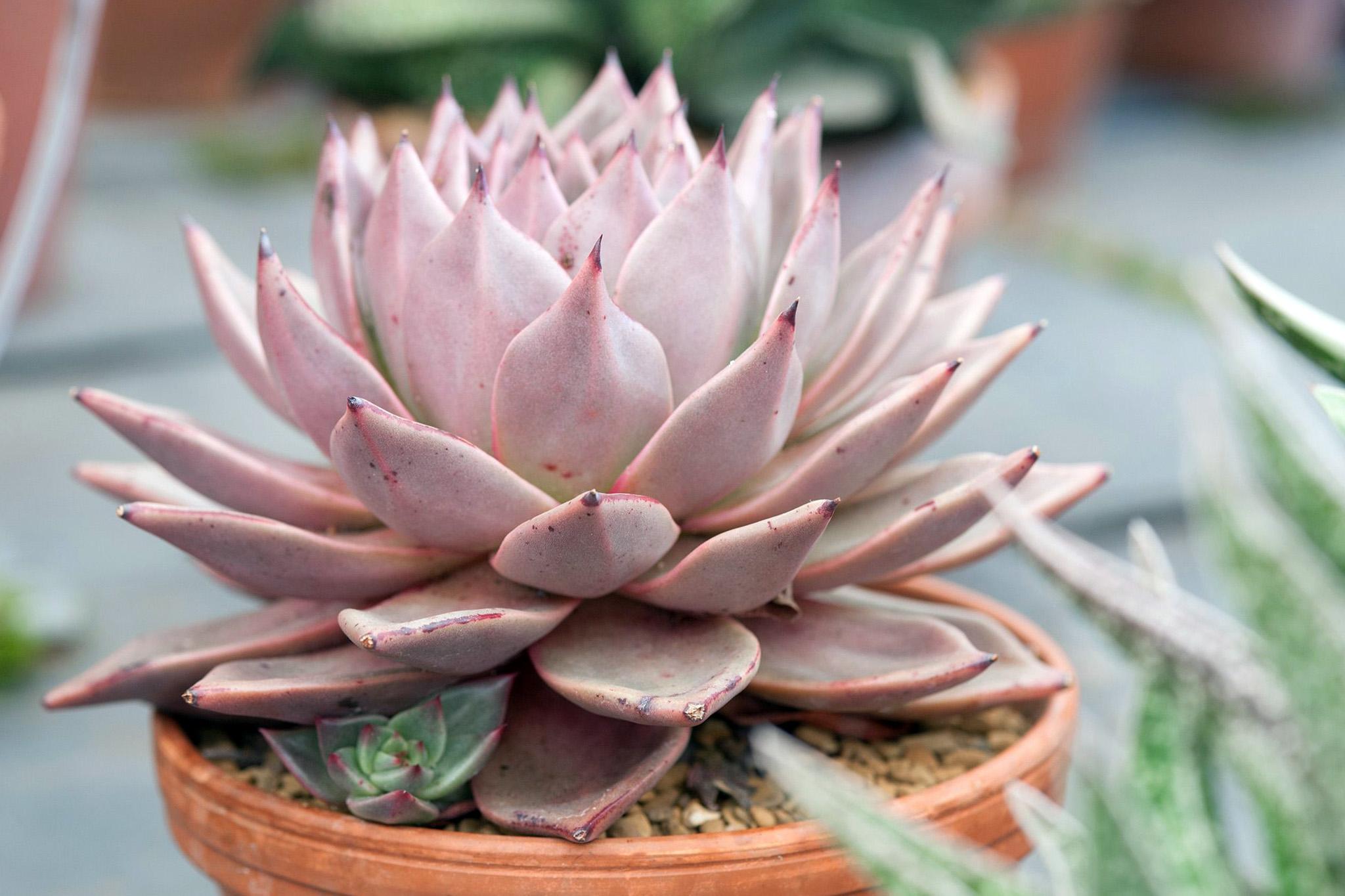 Storalapė gėlė (Kalvorė)