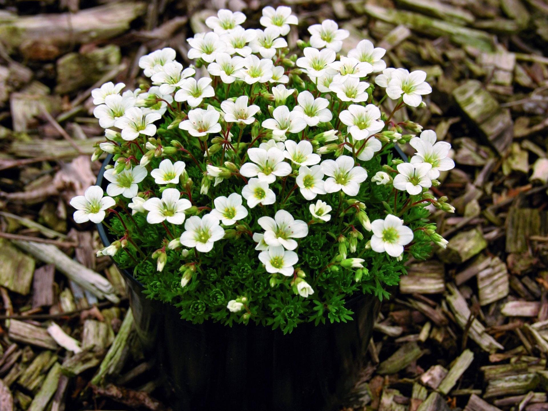 Uolaskėlė saxifraga (gėlė)