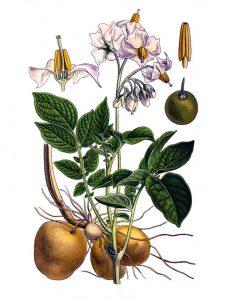Valgomoji bulvė botanikoje