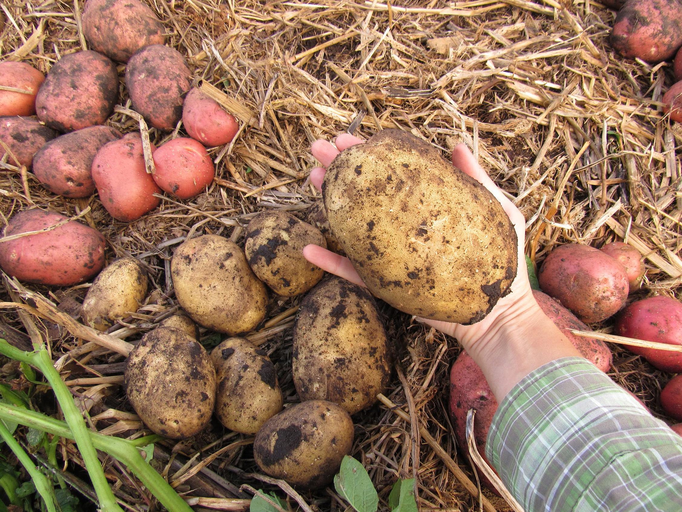 Valgomoji bulvė
