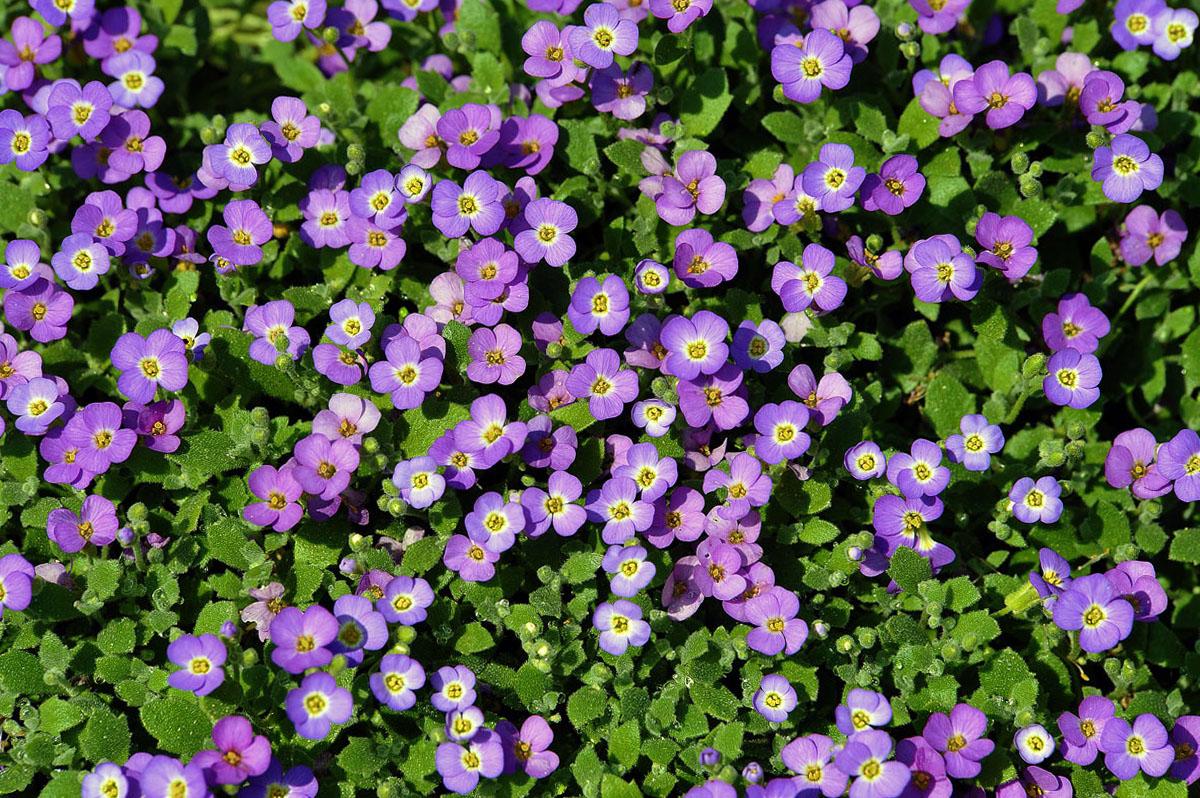 Violetinė darželinė aubretė