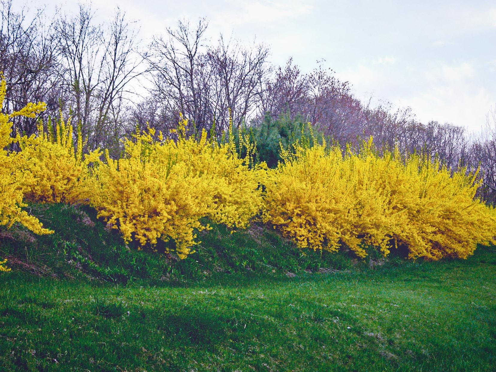 Anksti pavasarį geltonai žydintis krūmas - FORSITIJA