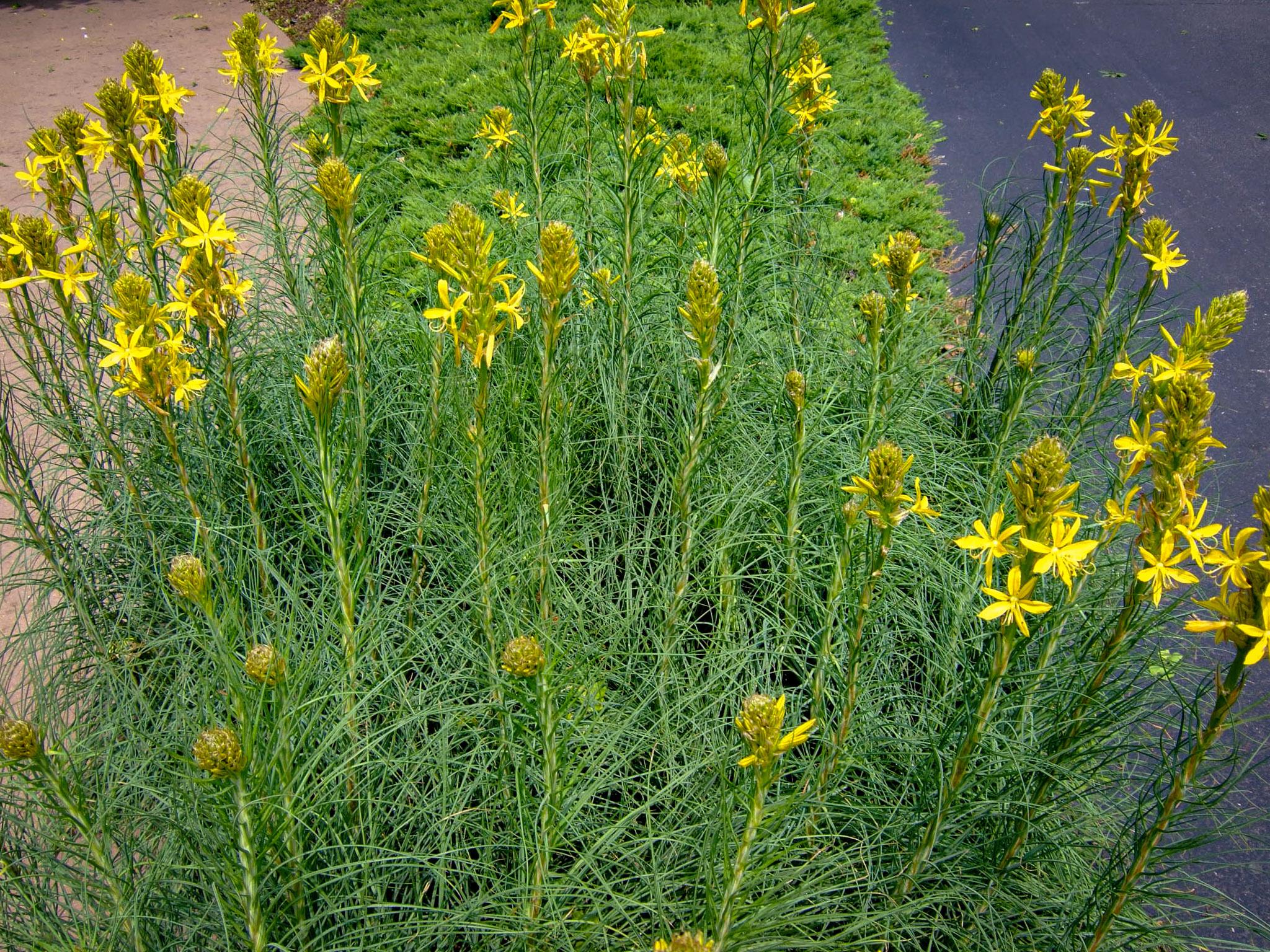 Augalas geltonoji plėnuvė