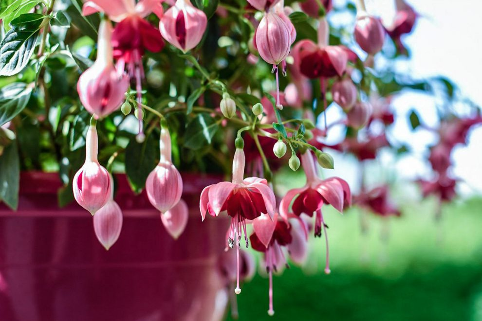 Gėlė fuksija