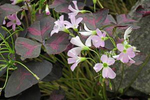 Gėlė Oksalis