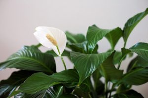 Gėlė spatifilis