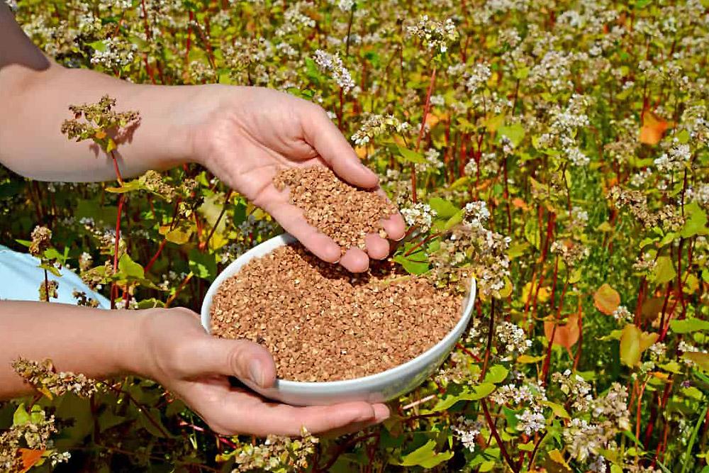 Grikių auginimas sode