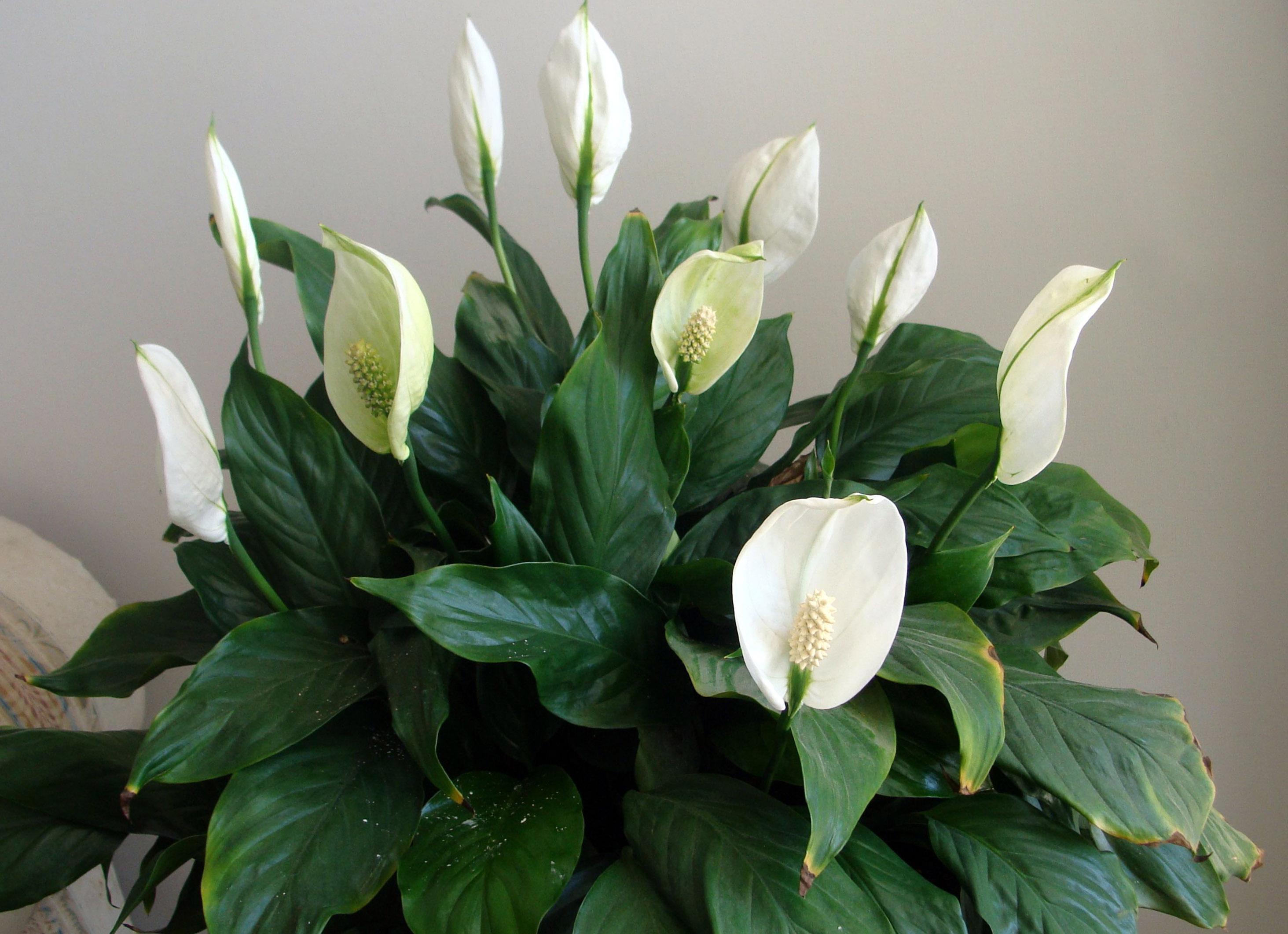 Kambarinė gėlė spatifilis