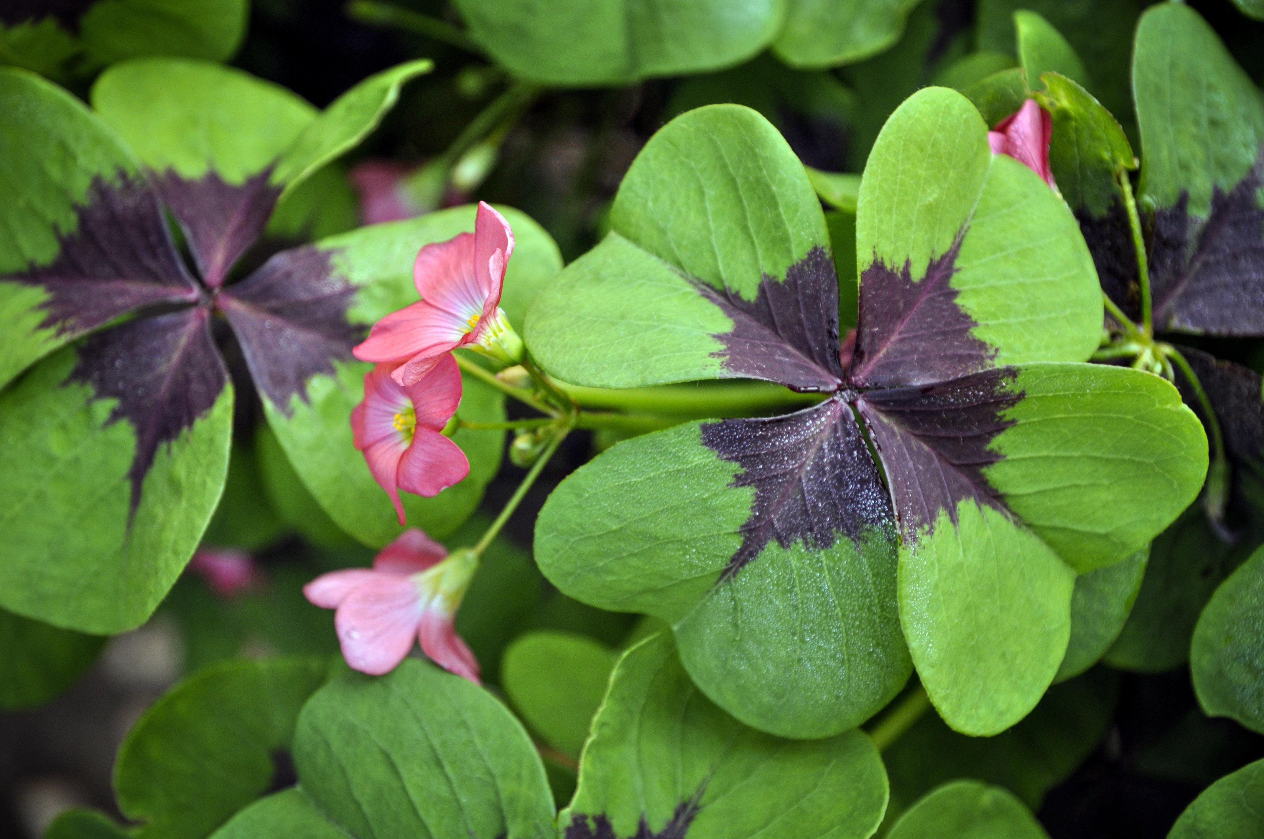 Kiškiakopūstis (gėlė)