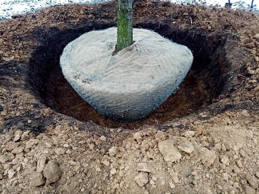Persodinamas suaugęs medis