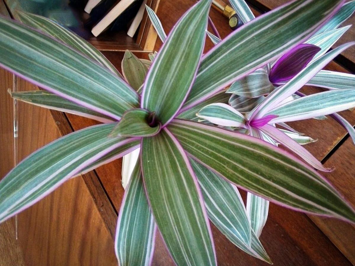 Rėjus (augalas)