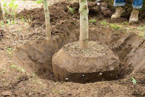 Suaugusių medžių persodinimas