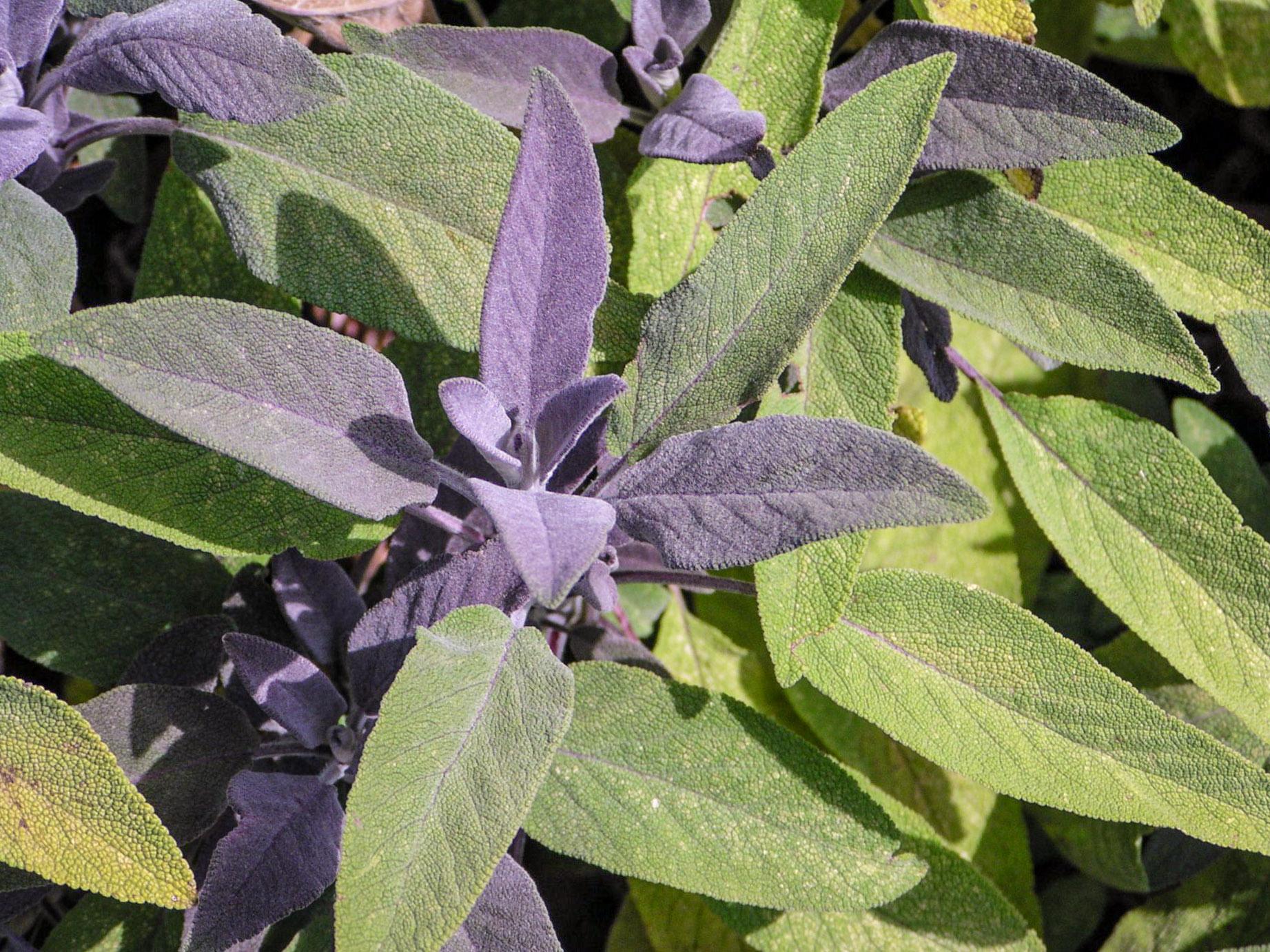 Vaistinio šalavijo žolė