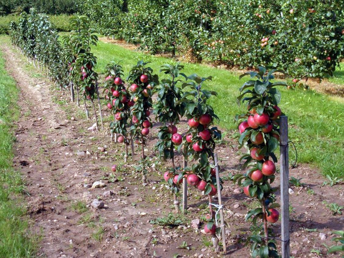 Žemaūgių obelų veislės