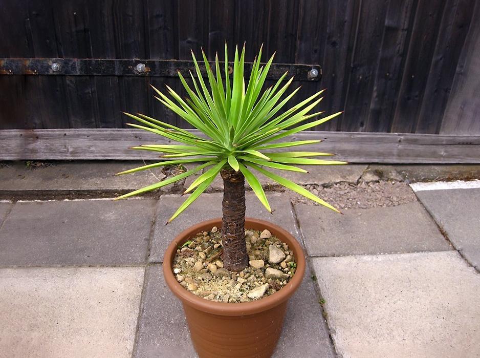 Alavijinė juka (Yucca aloifolia L.)