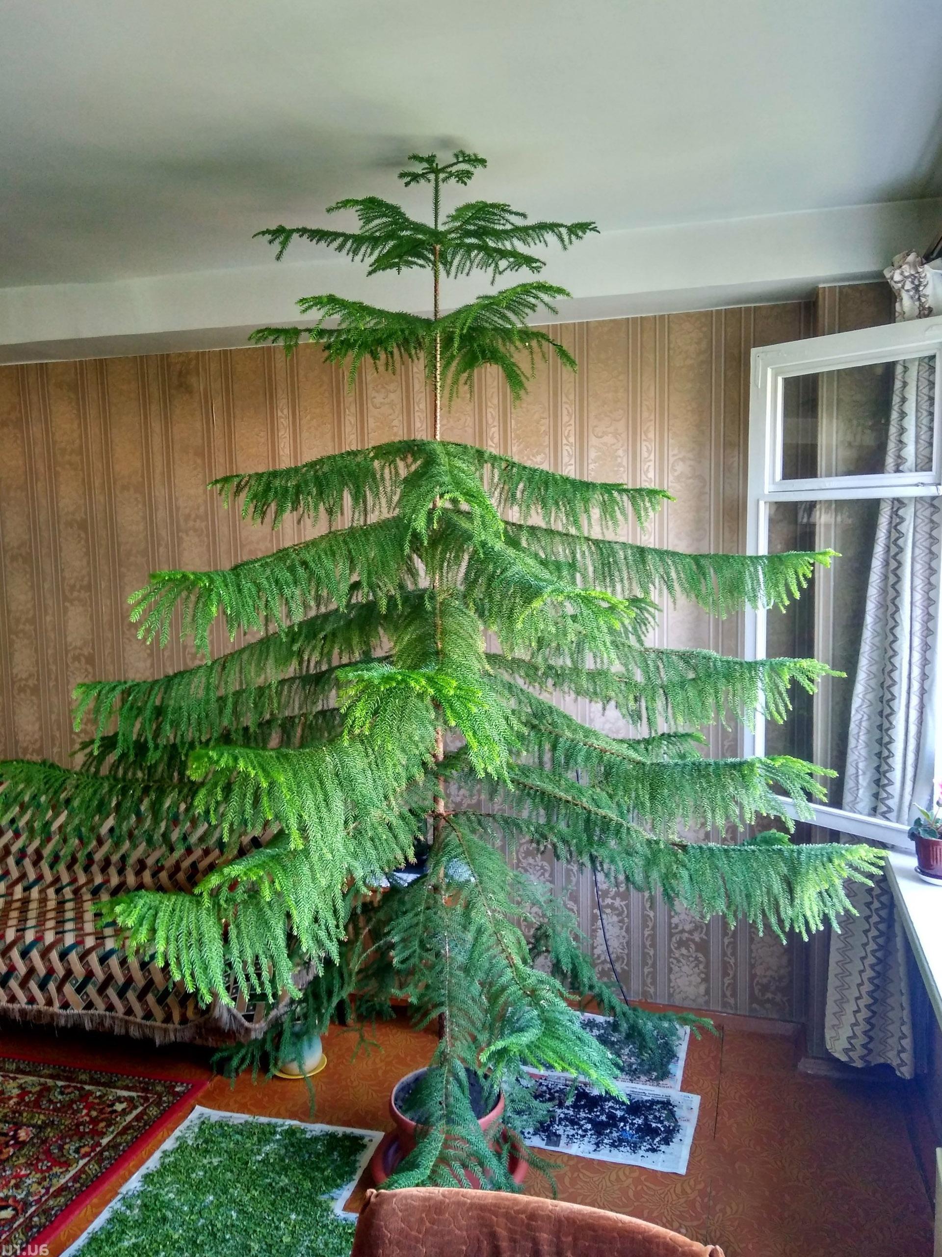 Araukarija kambarinis medis