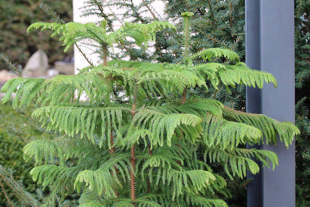 Araukarija medis