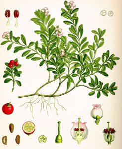 Bruknė botanikoje