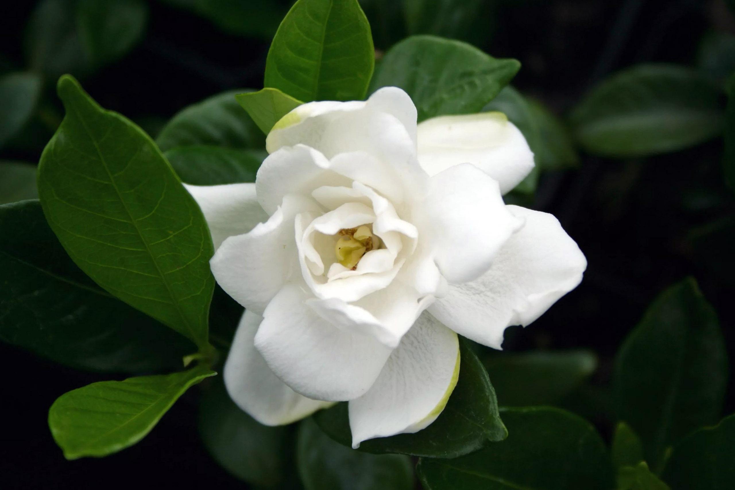 Gardenija baltais žiedais