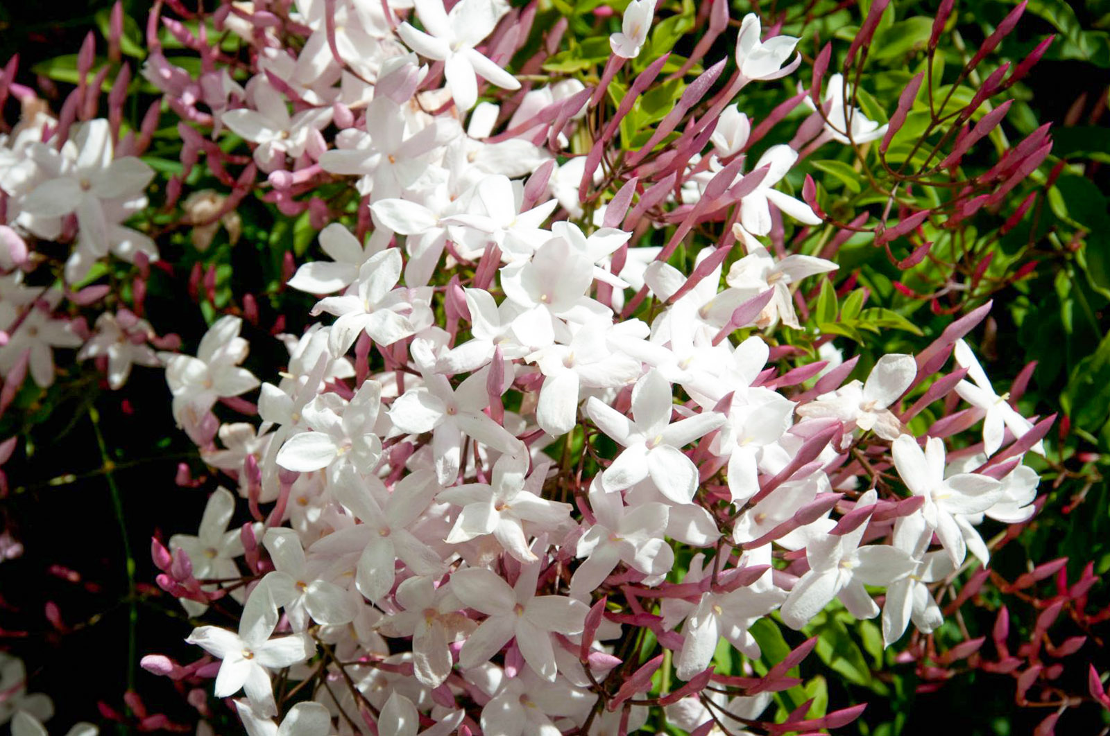Gausiažiedis jazminaitis (Jasminum polyanthum)