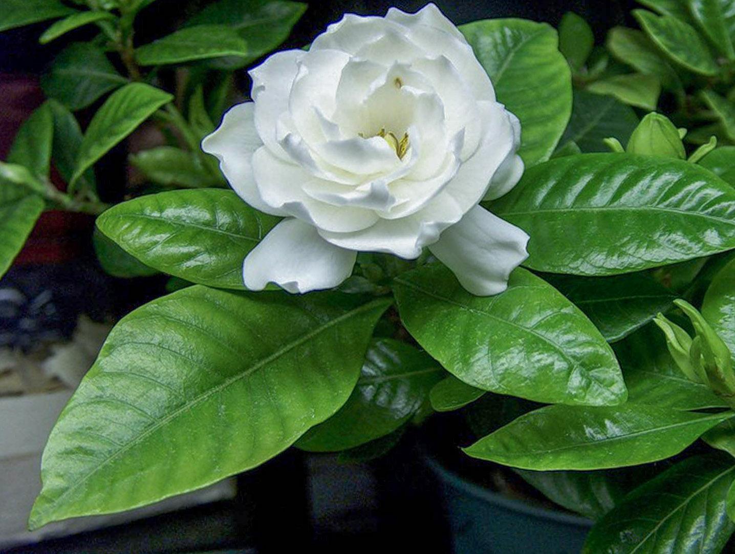 Gėlė gardenia
