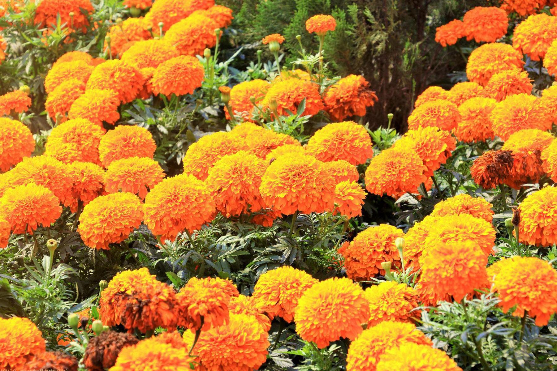 Gėlės tagetės