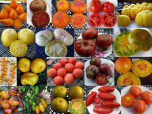 Geriausios pomidorų veislės