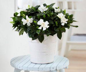 Kambarinė gėlė gardenija