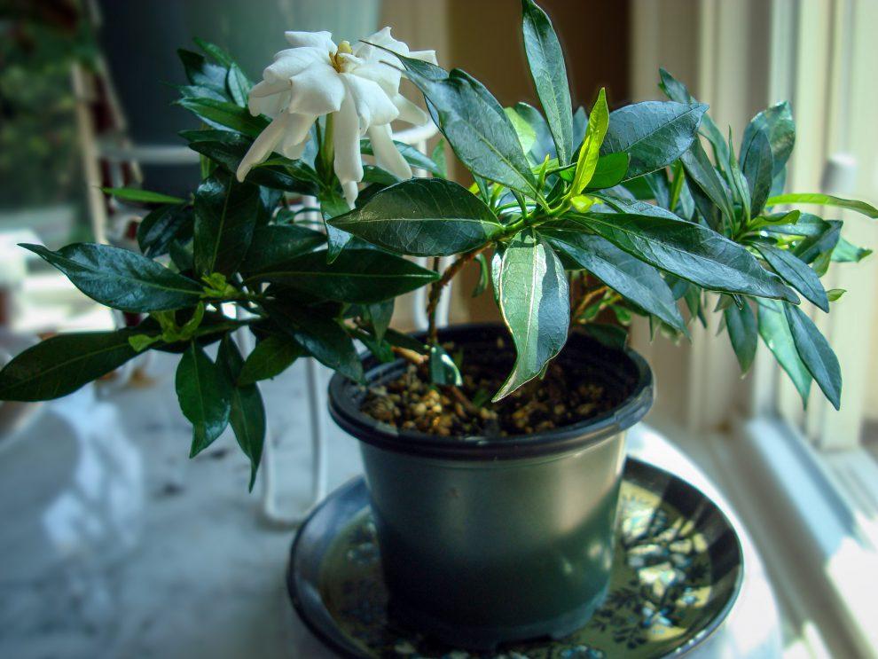 Kvapioji gardenija