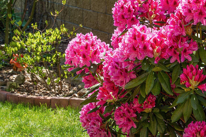 rododendras 'nova zembla' (hibridas)