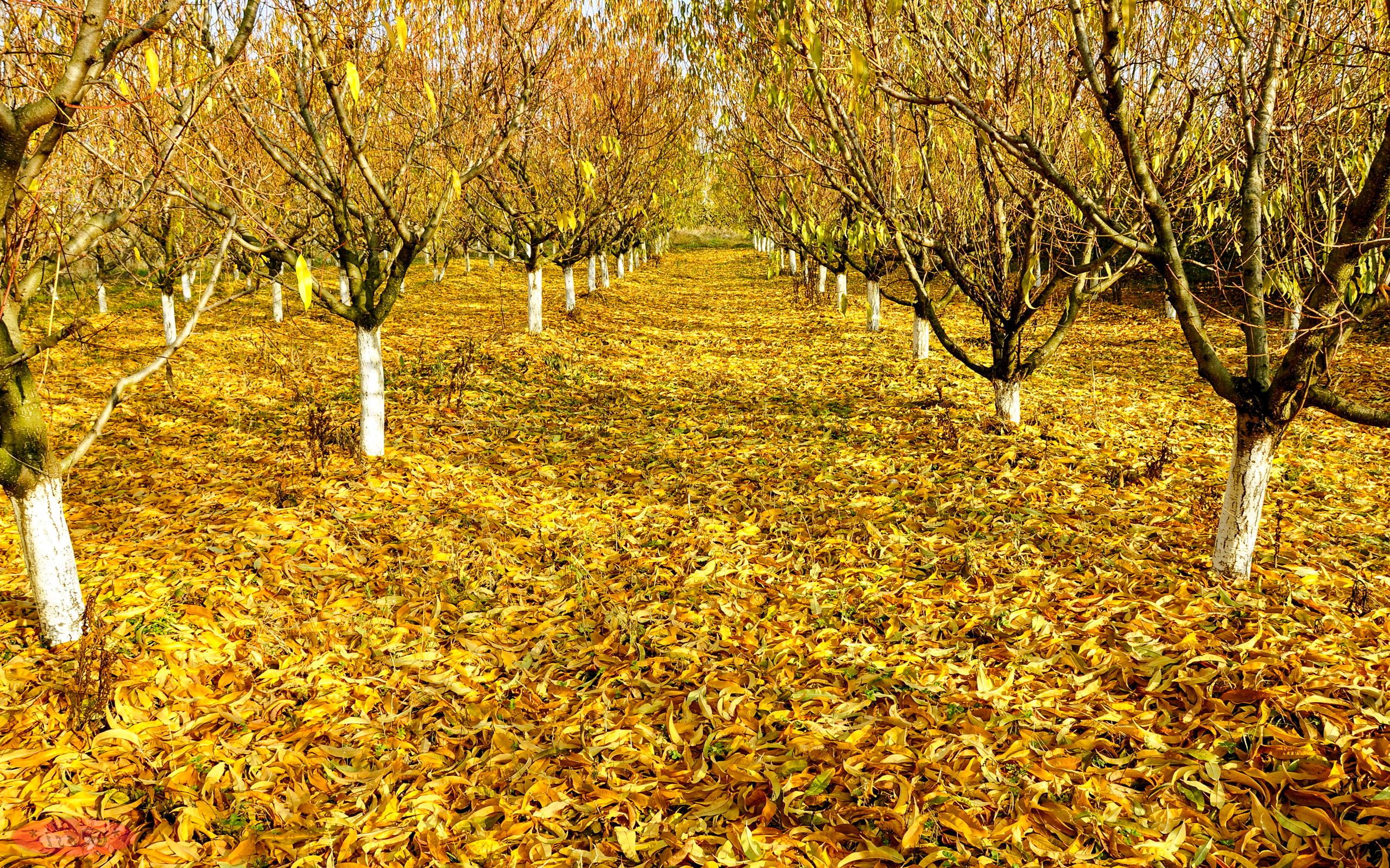 Rudenį pagelsta medžių lapai