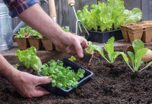 Salotų daigų sodinimas