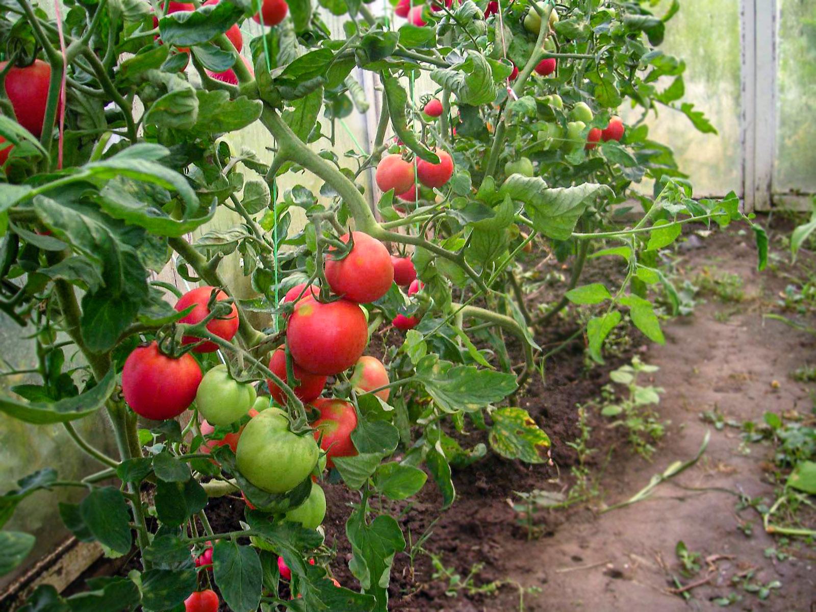 Šiltnaminiai pomidorai
