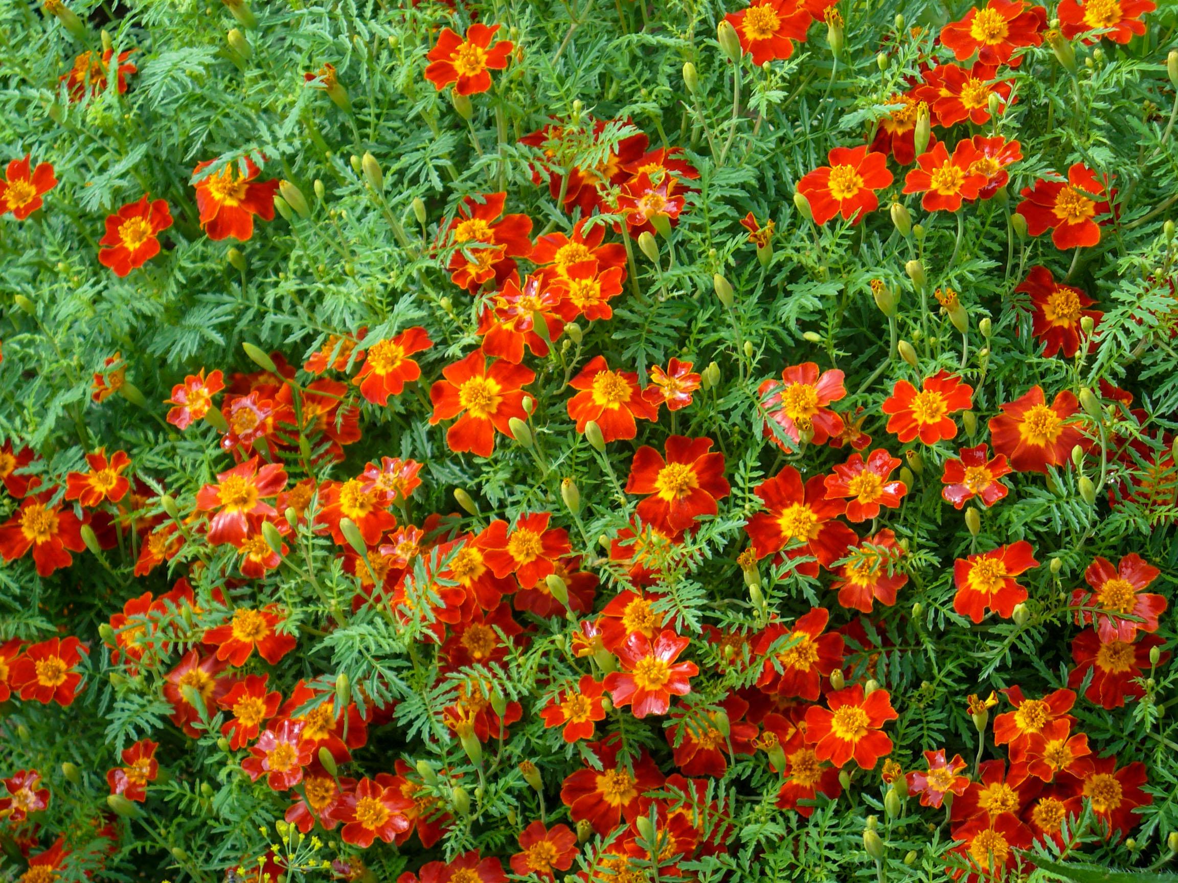 Smulkiažiedžiai serenčiai (Tagetes tenuifolia)