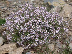 Vaistinis čiobrelis 'Thymus vulgaris'